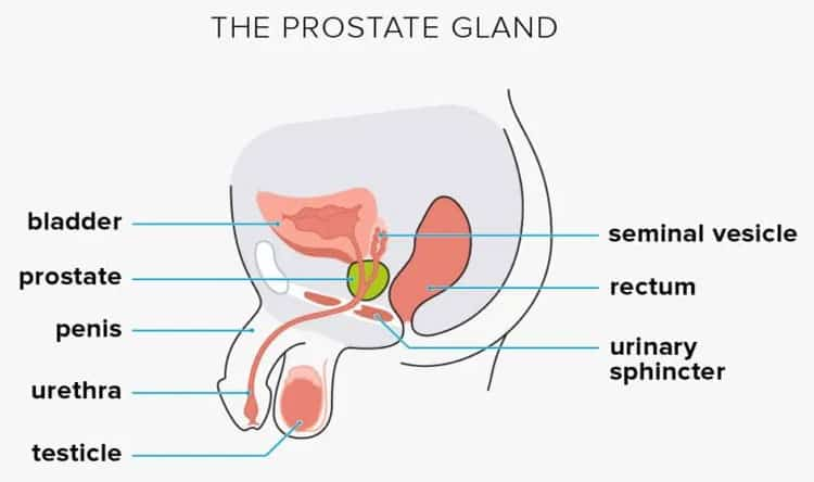 The-Prostate-Gland