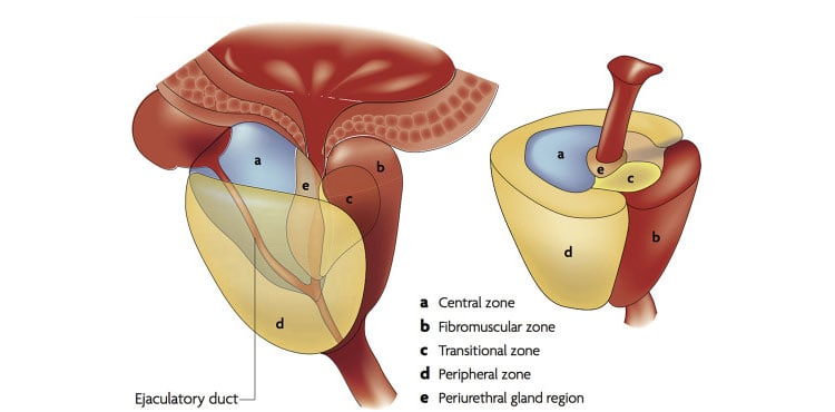 The-Surgical-Anatomy-of-the-Prostate
