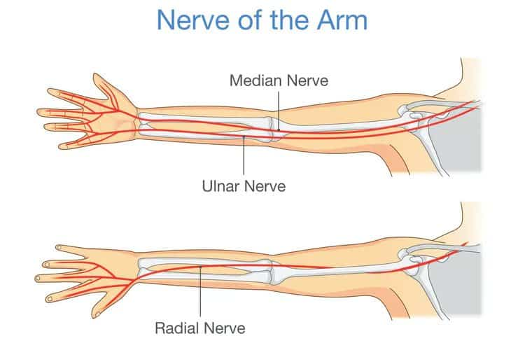 Nerve Of the Arm